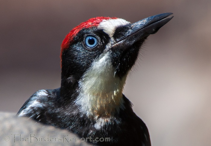 Acorn Woopecker