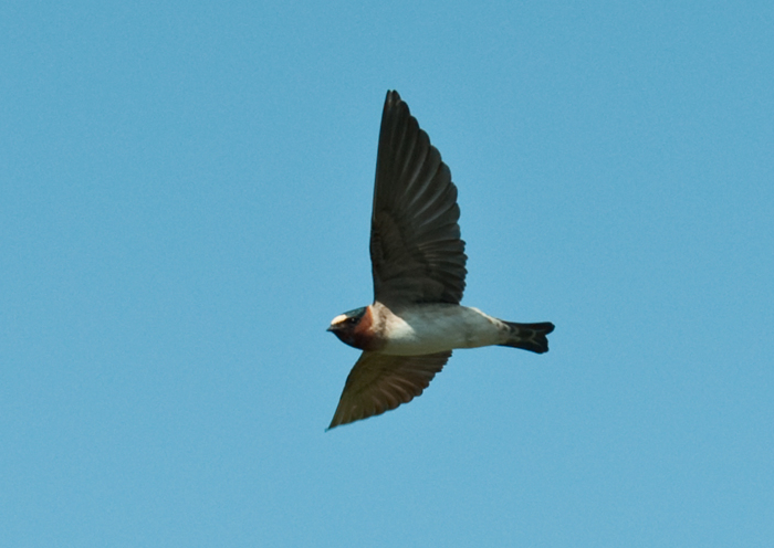 Cliff Swallow in Flight