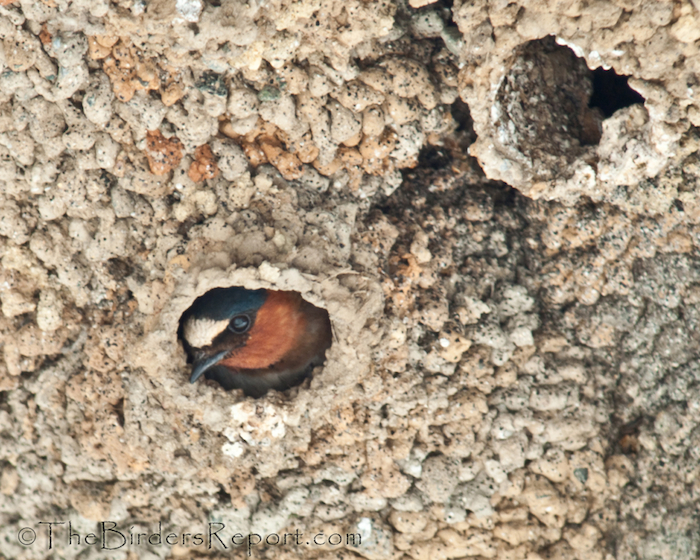 Cliff Swallow Peeking