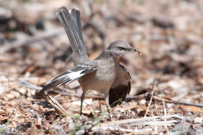 Northern Mockingbird Displaying