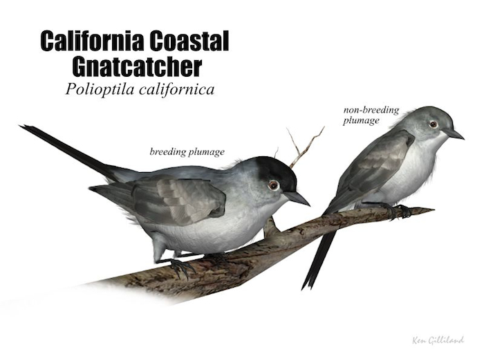 California Coastal Gnatcatcher