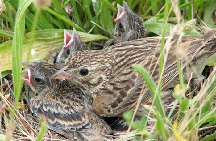 Conservation Group Seeks Protection Of Rare Western Sparrow