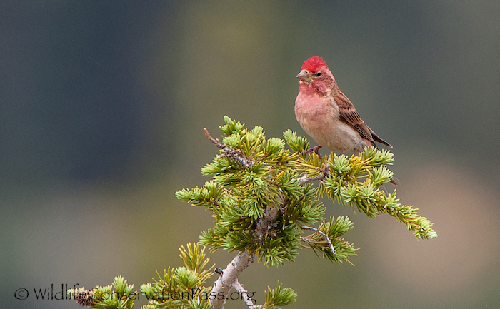 Cassin's Finch Male