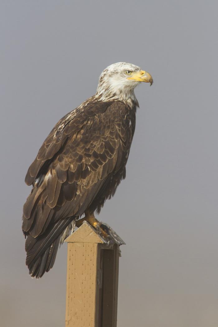 Bald Eagle 4 Year Old
