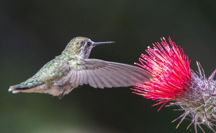 Anna's Hummingbird on Thistle