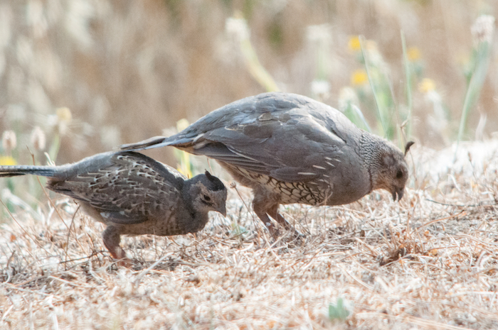 California Quail Female with Chick