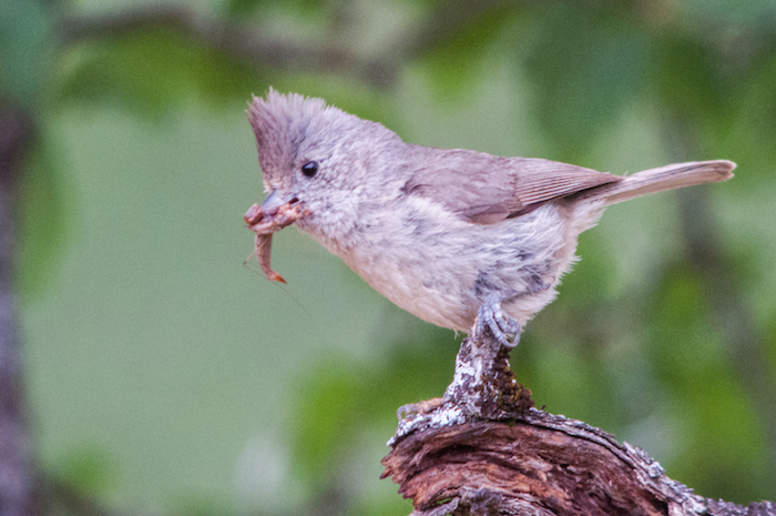 Oak Titmouse with Insect
