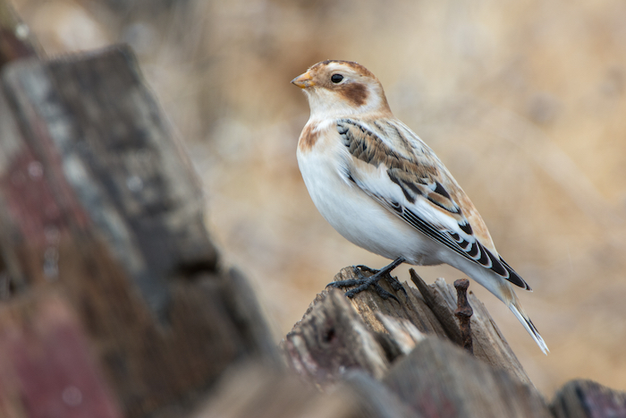 Snow Bunting in Shasta County