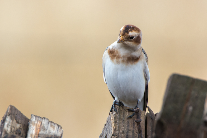 Snow Bunting Perched