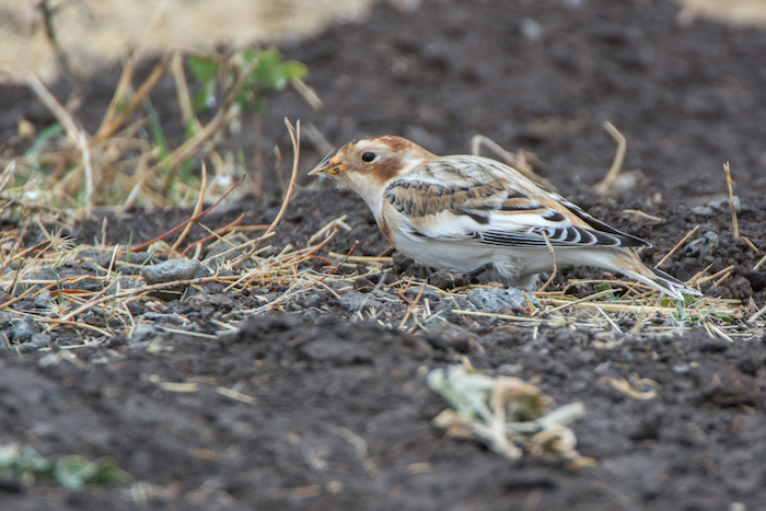 Snow Bunting with Seed