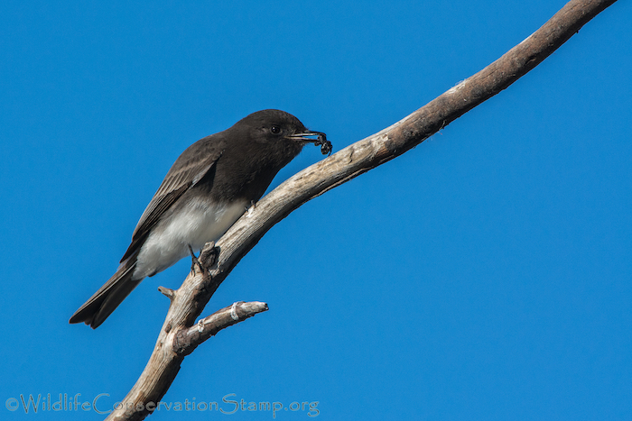 Black Phoebe with Spider