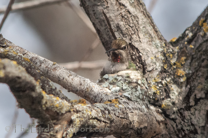 Anna's Hummingbird Female on Nest