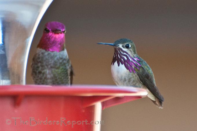Calliope Hummingbird and Anna's Hummingbird Male
