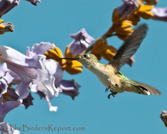 Calliope Hummingbird Female