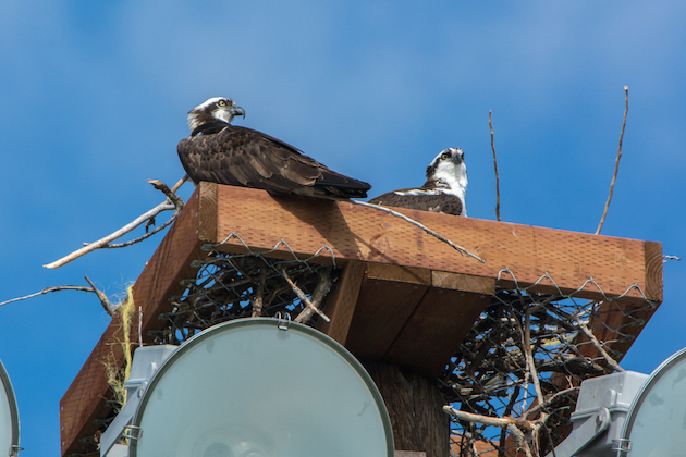 Osprey Pair